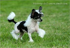 Китайская хохлатая собака, окрас: бело-черный