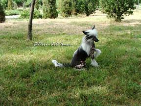 щенок китайской хохлатой голый кобель