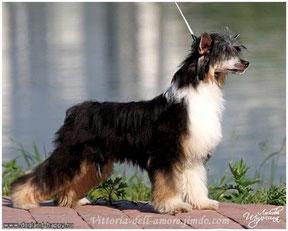 Китайская хохлатая собачка Окрас: триколор