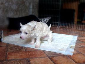 приучение щенка к пеленке