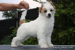 Китайская хохлатая собачка Olegro Katrin Inspiration One, окрас: Бело-бронзовый