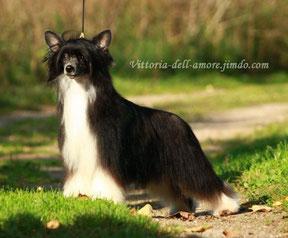 Китайская хохлатая собака Jestem Twa Next Germanika, окрас: черно-белый