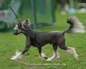 Китайская хохлатая собачка Paris OK Style Zingall Roz  Окрас: черно-подпалый