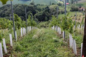 Jung-Weingarten in der Steiermark