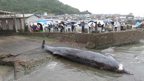 A Baird's beaked whale that had been caught the day before is pulled out of the water