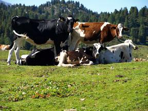 Dieses Bild zeigt eine Vierergruppe Holstein Kühe auf der saftig grünen Almwiese vor der zauberhaften Kulisse des Dachsteingebirges