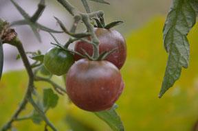 Black Cherry, Historische Sorte, lila