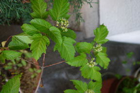 カラコギカエデ Acer ginnala