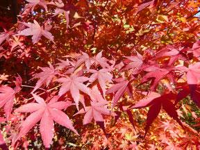 イロハモミジ Acer palmatum