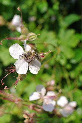 Bienen machen aber auch mal Pause!