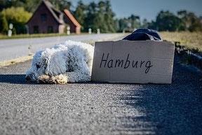 Un chien frisé blanc couché le long d'une route avec un écriteau avec destination en vacance par coach canin 16 educateur canin en charente