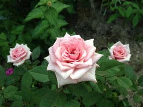 バラの剪定時期