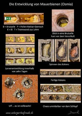 Insektenhotel Insektennisthilfe Nisthilfe Schautafel Mauerbiene Entwicklung Kokon Larve Ei Schlupf poster mason bee hatching cocoon