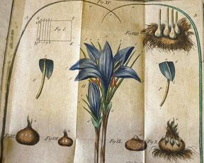 Safrananbau im Mittelalter