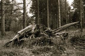 mammoet figuur op een boomstronk in het bos, analoge zwart/wit foto, sepia.