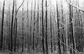 winterview of a forest full of tree's, analog b/w photo.
