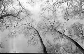 winter view of treetops lying on the ground, analog b/w photo.