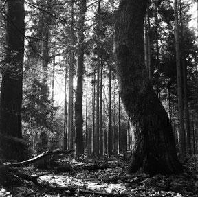 gebogen boom in het bos, analoge zwart/wit foto.