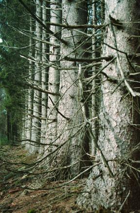 perspectief van een bomenrij in een bos, analoge kleurenfoto.