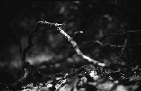 a branch moving in the forest, analog b/w photo.
