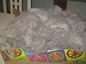 danach wird die Wolle gezupft und man entfernt kleine Verunreinigungen