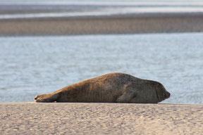 Sortie nature guidée et commentée en Baie de Somme, découverte de la colonie de phoques de la Baie de Somme, Traversée de la baie de somme orgnisée par les guides nature de Découvrons la Baie de Somme