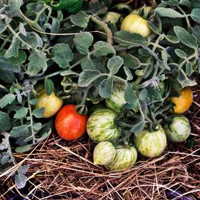 Balkon Tomate