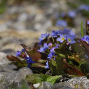 Blüten des Bodensee-Vergissmeinnicht