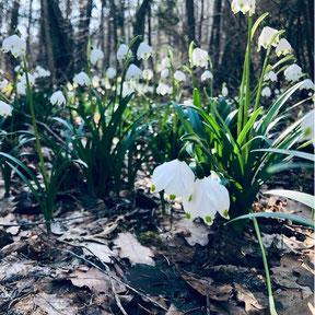 Charakteristisch für den Märzenbecher sind die glockenartig überhängenenden Blüten, deren Spitzen grüngelb gepunktet sind - Foto: NABU/M. Rehmensperger