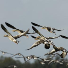 Auffliegende Graugänse- Foto: NABU/T. Dove