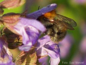 Salbeiblüten sind bei Bienen sehr beliebt