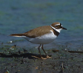 Flussregenpfeifer: Wieder Brutvogel in den Rieselfeldern. Foto: Stelzer