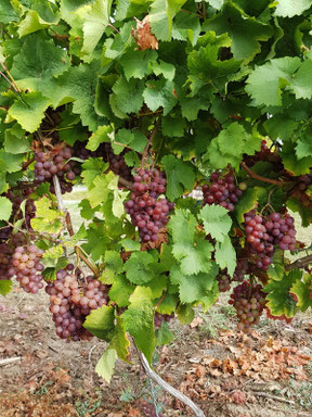 In den Weinbergen vor der Weinlese