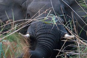 So nah kann man Elefanten vom Boot aus sehen