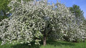 Apfelbaum, Foto: A. Bossert