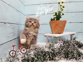 格安販売。可愛い仔猫。安心親切ブリーダー