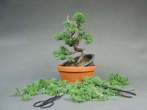 Aus dem etwas zu langen Stamm wurde ein Jin (Totholz) gestaltet, um einen kompakteren Baum zu erhalten. Die Äste wurden mit Hilfe von Draht in die perfekte Position gebracht. Überflüssige oder falsch positionierte Äste wurden entfernt oder zum Jin umgest