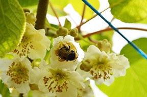 Abejorro en flor de kiwi
