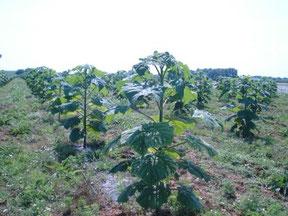 Anpflanzung einer Paulowia-Plantage