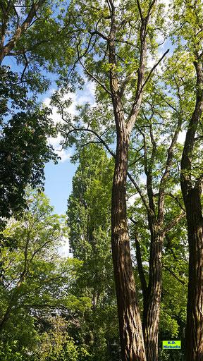 Alte, sehr hochgewachsene Robinien / Scheinakazien im grünen Frühlingskleid von einem weißblauen Himmel von K.D. Michaelis
