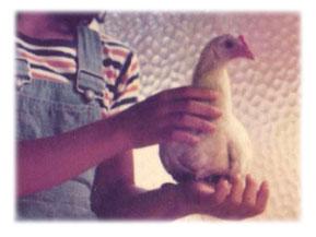 にわとりのピーコ(1976年)の写真
