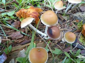 Geselliger Schwefelkopf (Hypholoma marginatum)