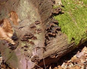 Umberbrauner Borstenscheibling (Hymenochaete rubiginosa)