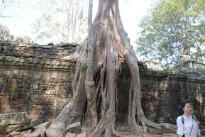 遺跡に絡みついたよう樹(ガジュマルの一種)の根