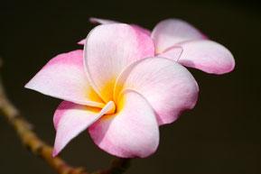 Fanchipaniblüte, Bildquelle Pixabay