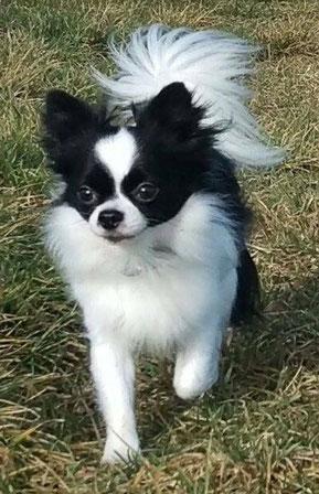 Chihuahuas Bayern Chihuahua Welpen Zu Verkaufen A Wurf