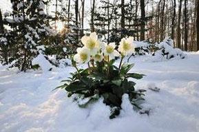 Helleboro niger ( Rosa di Natale)