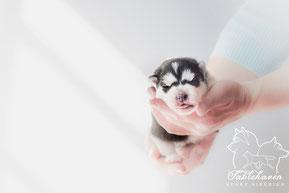 achat husky vente yeux bleus