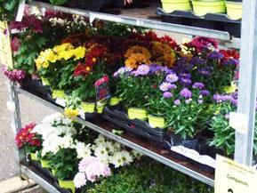 花屋の菊。小鉢をいくつか求めてひとつの大鉢に移し植える。