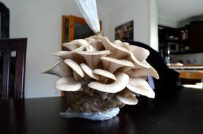 Bereits nach 5 Wochen können die Pilze geerntet werden